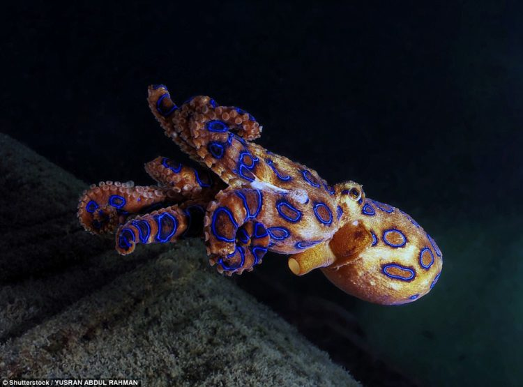 The deadly blue ringed octopus contains enough venom to kill 26 adult humans within minutes, measuring 12 to 26cm, found in the tide pools and coral reefs of the Pacific and Indian Oceans