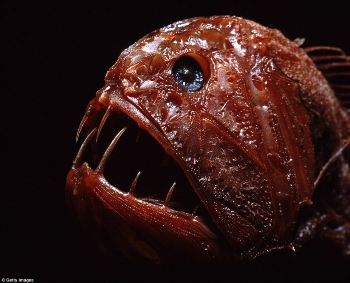 The fangtooth is a deep ocean predator Its long teeth does not miss a meal of fishes squid or shrimp found throughout the world in temperate and tropical ocean off the coast of Australia