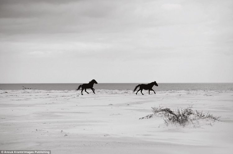 The horses spend their days cantering on the sand, foraging for sea moss and grazing inland