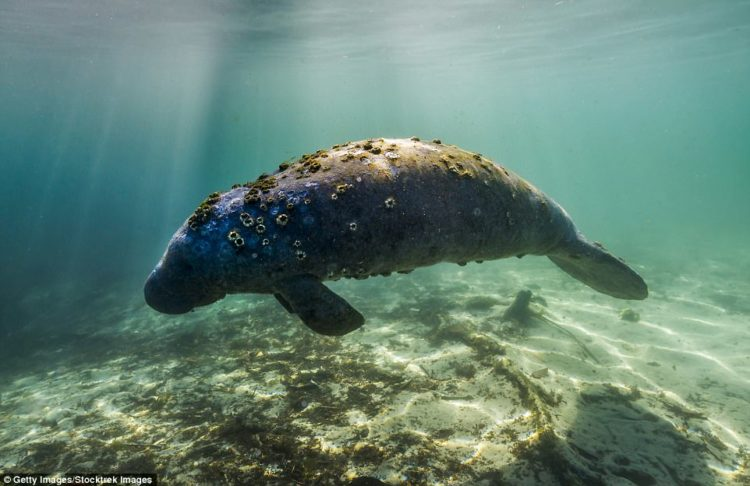 The manatee is a peaceful marine mammal lives in the shallow coastal waters of the Caribbean, Gulf of Mexico, West Africa & the Amazon Basin. It uses thick paddle shaped flippers to move