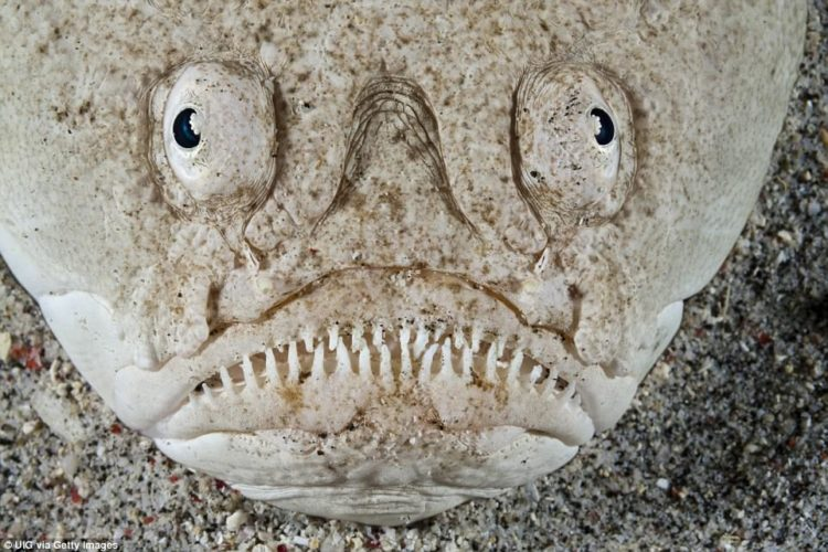 The stargazer fish, found in the Red Sea and the Atlantic Ocean as well as waters surrounding Indonesia, is so called because of its eyes, which are perched on top of its head.
