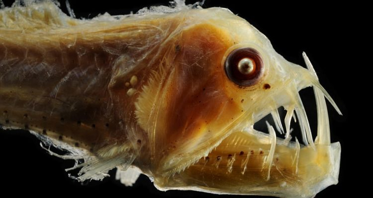 The viperfish lives in the North Atlantic. It has fangs so large they don't even fit in its mouth, making it a deadly predator