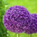 The Allium, Most Graceful Ornamental Flower in your Gardens