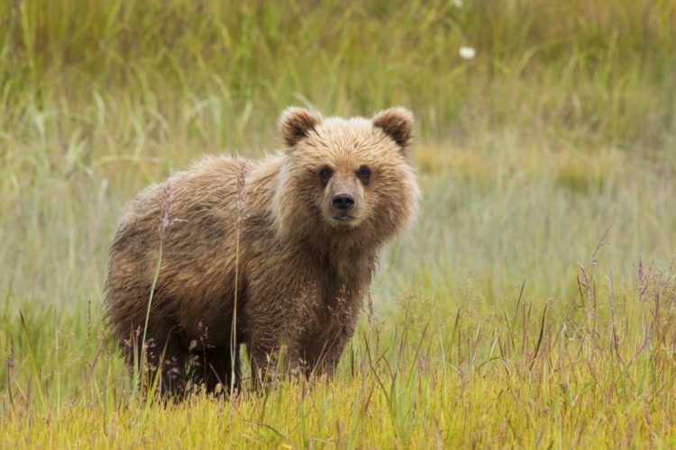 "The Himalayan brown bear is also known as ""The Himalayan Red Bear"", distribution from northern Afghanistan, northern Pakistan, northern India, west China, Nepal, and have become extinct in Bhutan."