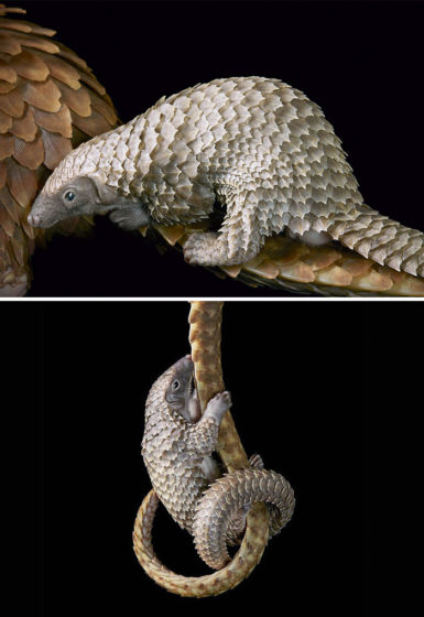 10. While Bellied Pangolin