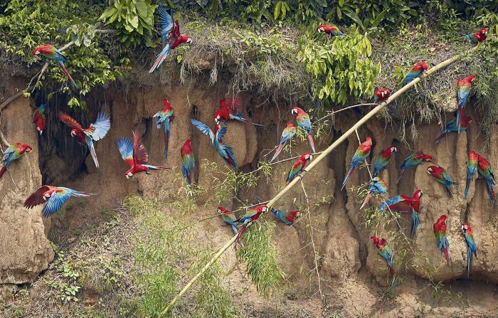 15. Green Winged Macaws on Claylick
