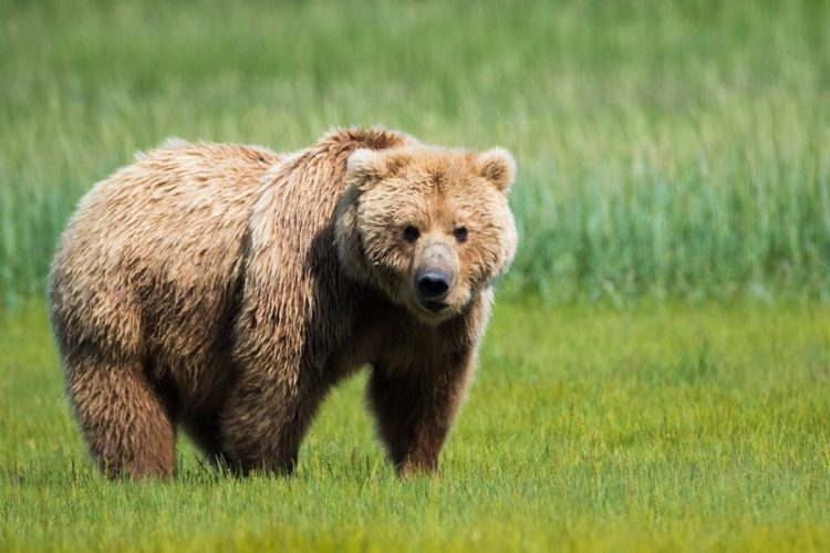 The male brown bear ranges from 5ft - 7t 3in long while female is little smaller ranges from 4 ft 6 in - 6 ft. Thus, it is largest mammal in Asian region, as these bears are omnivorous and hibernate in a den during winter.
