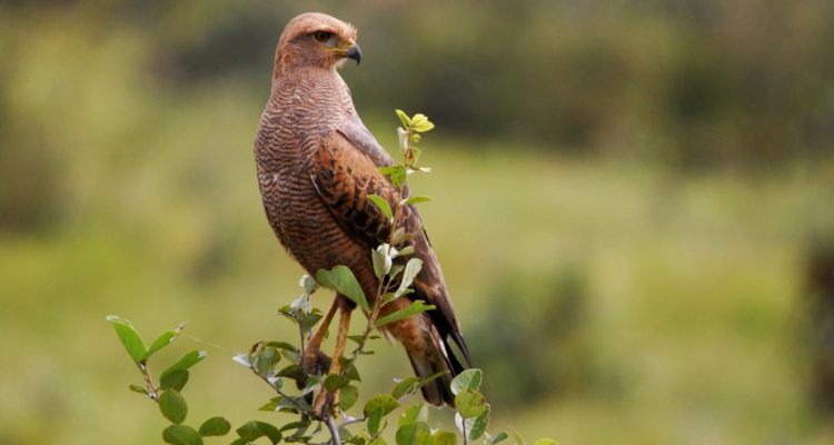 The Savanna Hawk is widespread raptor and their habitats throughout the lowlands of tropical and subtropical South America.