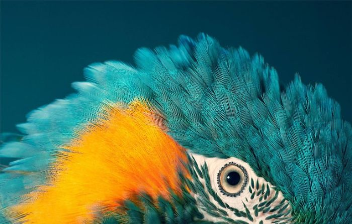 21. Blue Throated Macaw
