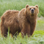 The Himalayan Brown Bear