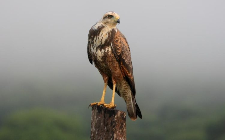 The savanna hawk has very long legs and thus is able to easily walk on the ground to catch its prey, or, like other birds, it can swoop down from the sky or a tree.