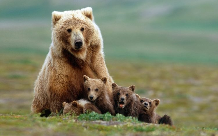 The Himalayan brown bear is found in three major mountain ranges, Hindu Kush, Karakoram and the Western Himalaya, and four inter-mountain highlands.