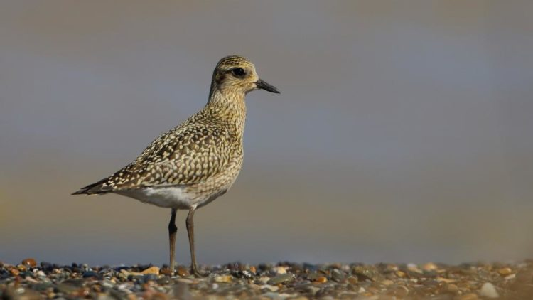 The Pacific golden plover is 23 to 26 cm long breeding adult is spotted gold and black on the crown, and back on the wings.