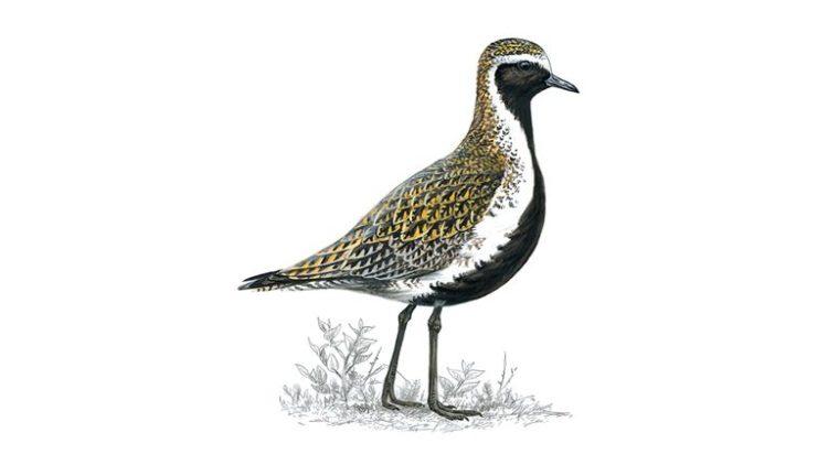 Golden plover (summer plumage)