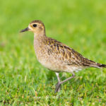 The Golden Plover: A Bird Can Fly 4800 km Non-Stop in 3 to 4 days