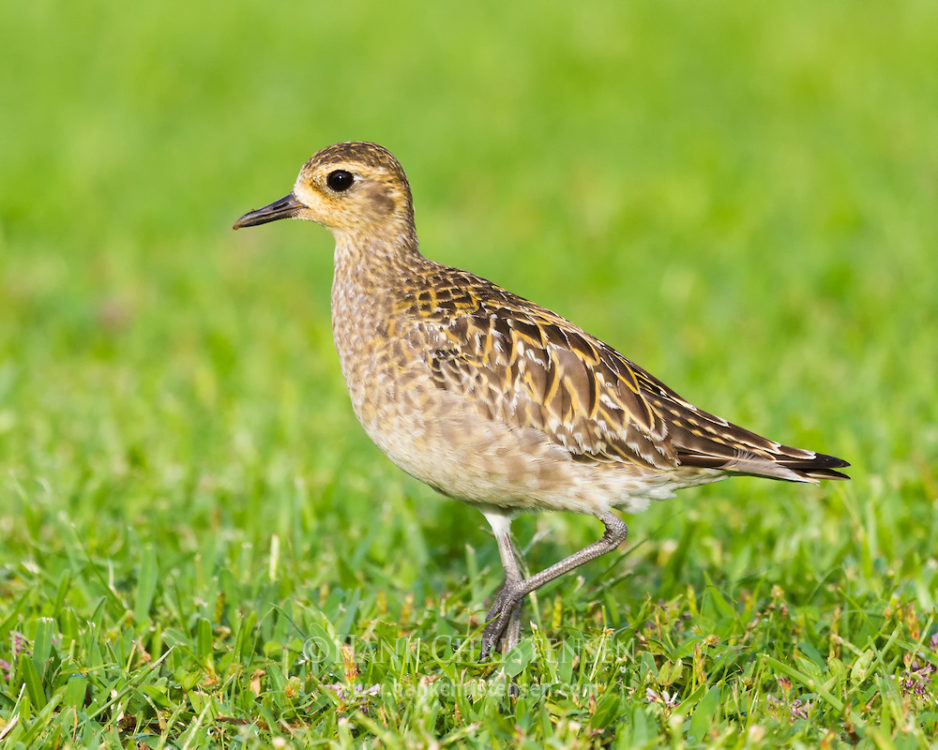 A pacific golden plover in winter plumage stalks through the grass looking for food
