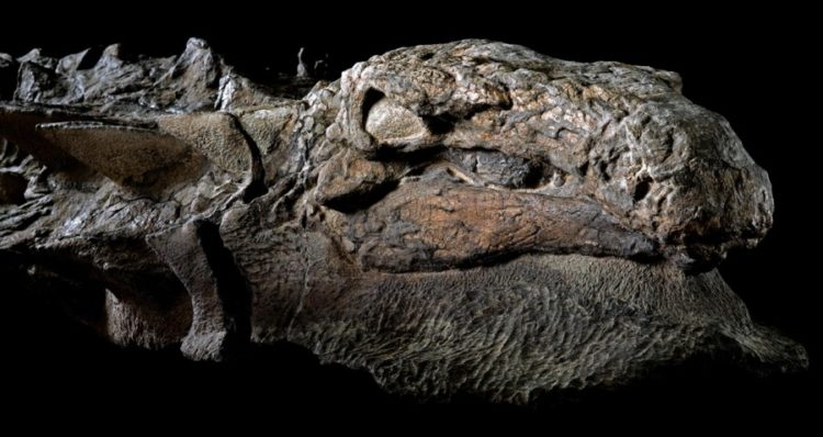 "The dinosaur is so well-preserved that numerous have taken to calling it not a fossil, but an honest-to-goodness ""dinosaur mummy. Photo Credit Robert Clark-National Geographic"
