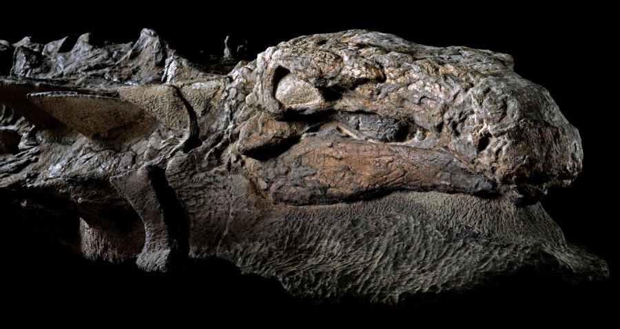 """The dinosaur is so well-preserved that numerous have taken to calling it not a fossil, but an honest-to-goodness """"dinosaur mummy. Photo Credit Robert Clark-National Geographic"""
