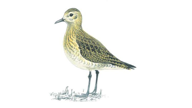Golden Plover Juvenile