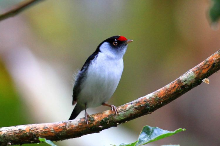 The stunning and highly distinctive pin-tailed manakin (Ilicura militaris) is a species of bird in the family Pipridae.