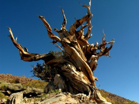At high elevations in a region of the western United States recognized as the Great Basin. Here is a species of pine lives a quiet, isolated, and exceptionally long life.