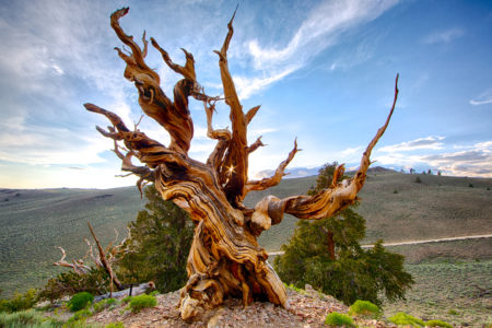 """Although, one thing they can't last is chainsaws. In what is now the Great Basin National Park of eastern Nevada, a tree known as """"Prometheus"""" was being studied by a group of ecologists."""