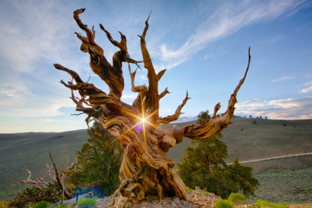Bristlecone pines are famous for attaining great ages, have been found that have lived more than 5,000 years longer than any other non-clonal organism.