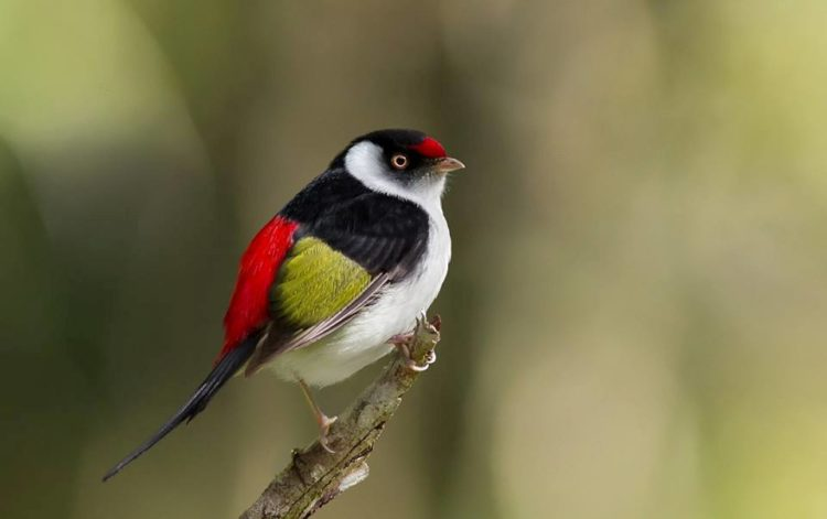 The Pin-tailed Manakin is not rare but it is nonetheless highly prized by birdwatchers, particularly as its strangely quiet vocalizations can render it unobtrusive, making encounters much less frequent than with other manakins that occur in the same region.