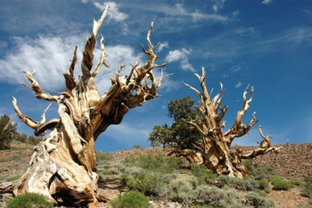 Bristlecone pines are small to medium-sized windblown trees ranging from about 5 to 16 meters (15 to 50 feet) in height