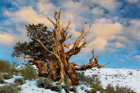 The trees are extremely hardy, surviving in harsh freezing cold temperatures, being buried in snow, and restorative powerful winds.