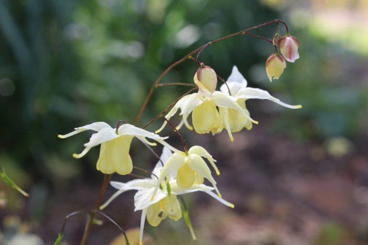 "Epimedium ""Epemedium grandiflorum"" is also called ""bishop's hat"" is one of favorite ground covers. It"