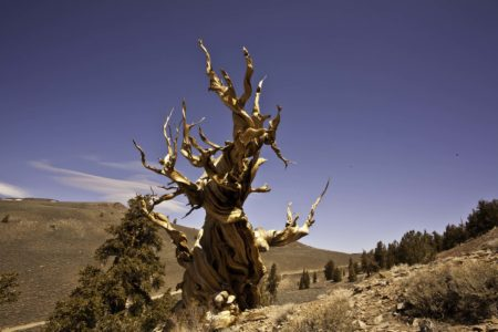 Few other plants can grow in the hard rock that Bristlecones prefer, and often the oldest trees are those that live in the most exposed and precarious places.