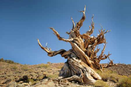 Bristlecone pines grow in isolated groves just below the tree line; grow in soils that are shallow lithosols, usually derived from dolomite and sometimes limestone, and sporadically sandstone or quartzite soils.