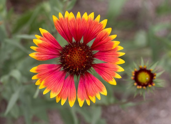 Gaillardia common name blanket flower is a genus of flowering plants in the sunflower family, Asteraceae, native to North and South America.