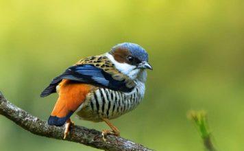 "The Himalayan cutia ""Cutia nipalensis"" is a bird species in the family Leiothrichidae."