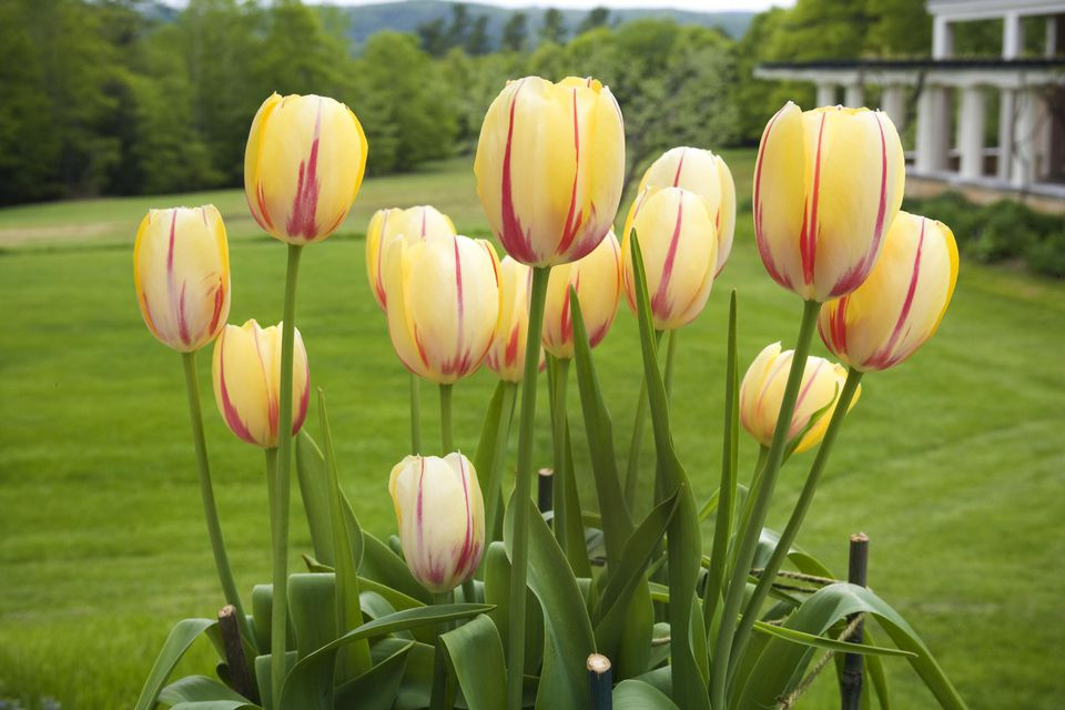 How to Grow, and Care for Tulip Flowers like a Jeweled Crown