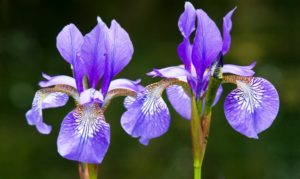 Iris Flowers plant, then you need all the irises mentioned here should be planted as early in fall as possible, in full sun.