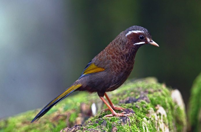 The White-whiskered Laughingthrush is a large 26 to 28cm with a distinctive face pattern.