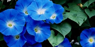The moonflower and the morning glory are both members of the family Ipomoea and are close relatives of the sweet potato.