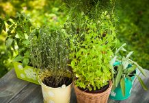 As a gardener, you should know about care of herbs. The plants grown in gardens are all indigenous to one country or another
