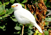 One of the world's rarest White Bird is Albino House Sparrow. Most White Wild Birds seen are leucistic, lacking pigment.
