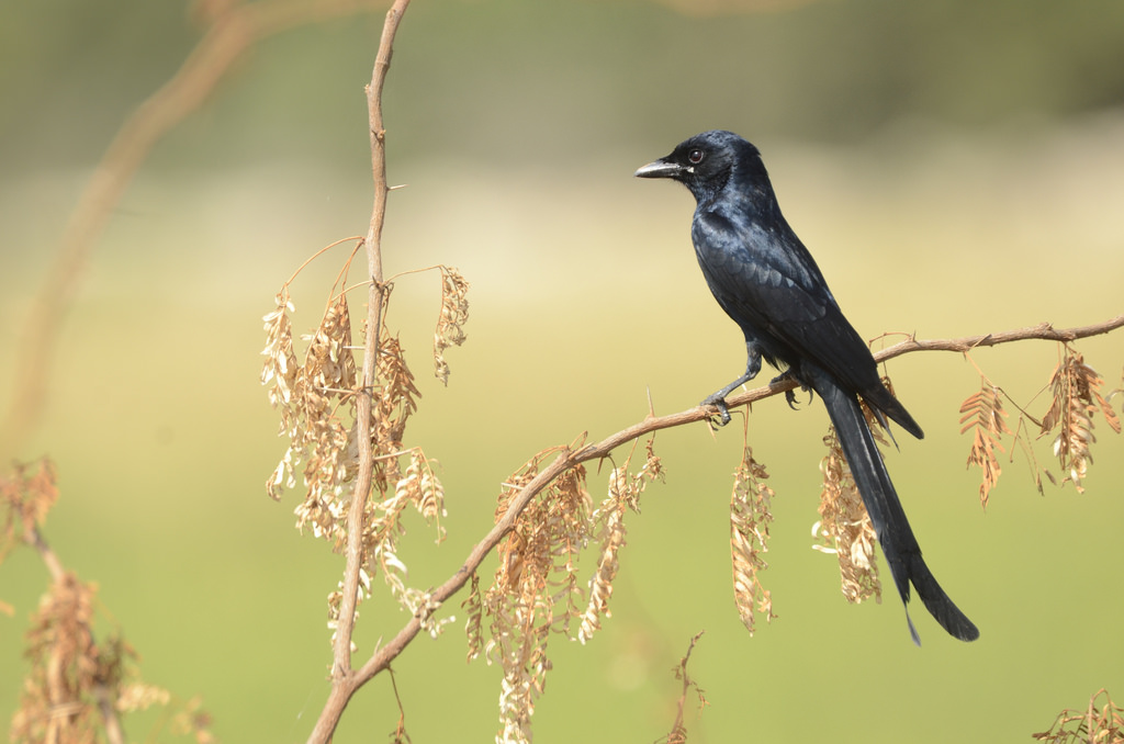 This wholly black bird is common in open agricultural areas and light forest, perching conspicuously on a bare perch or along power lines.