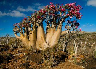 Socotra desert rose (adenium obesum sokotranum)on rocky outcrop in Haghir Mountains, Socotra Island, Yemen.