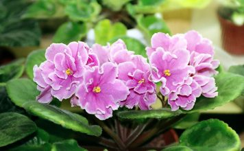 The flowers are normally about an inch wide, some are ruffled or fringed and some bicolored.