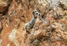 """Magical Rabbit that you've probably never heard of, the """"Ili Pika"""", is also one of the rarest and most endangered living beings in the world."""