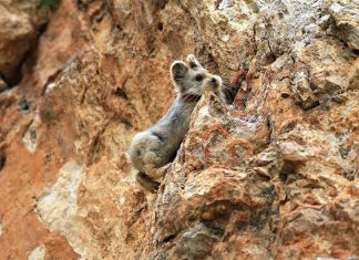 "Magical Rabbit that you've probably never heard of, the ""Ili Pika"", is also one of the rarest and most endangered living beings in the world."