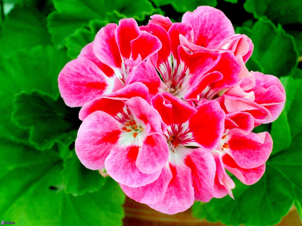 Tender perennials grown as tender annuals north of Zone 8. These are the much loved bright Geranium seen on windowsills, on terraces and in gardens everywhere.