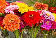 Zinnias are tender annuals that all gardeners love because they make a great show and are easy to grow.
