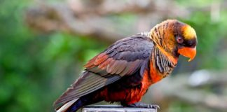 The dusky lory (Pseudeos fuscata) is a species of parrot, it is short tailed just 25cm long, and has mainly brown and whitish back and rumps.