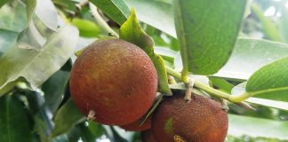 """The Black Sapote """"Diospyros nigra"""" is a species of persimmon in the family Ebenaceae. It is also called """"chocolate pudding fruit"""""""